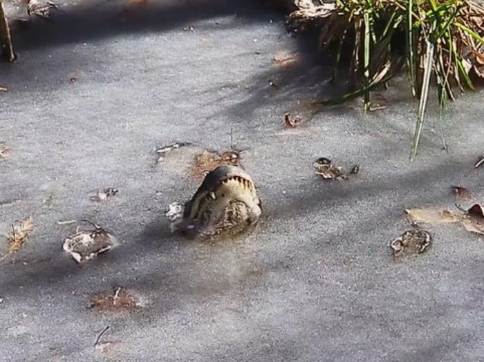 Замерзшие крокодилы.