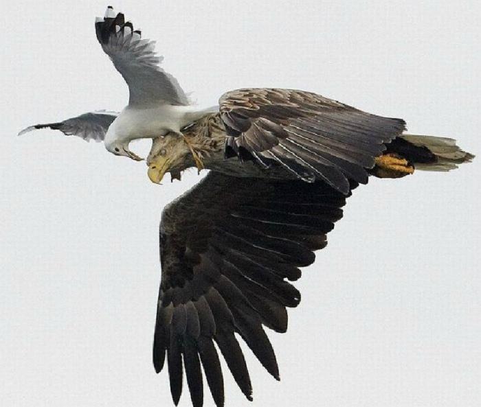 Назойливая и бесстрашная чайка.   Фото: SBNation.com.