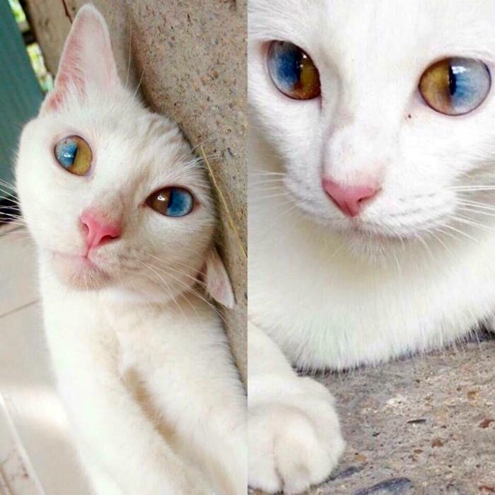 Кошка с гетерохромией.