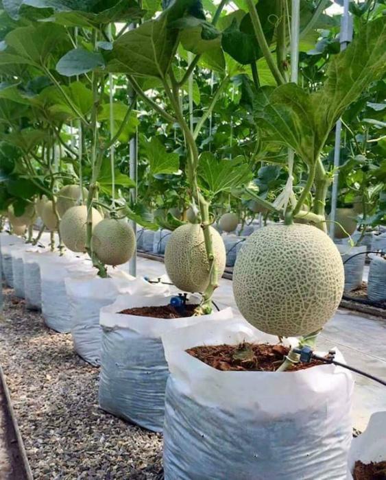 Выращивание дынь в мешках.   Фото: Одноклассники.