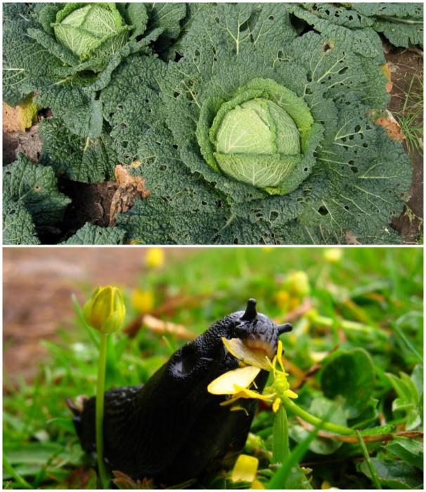Засіб для захисту рослин від шкідників.