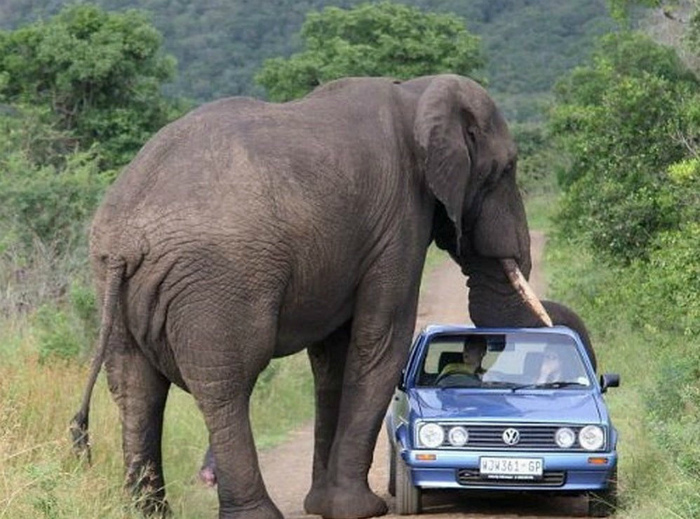 Нападение слона.