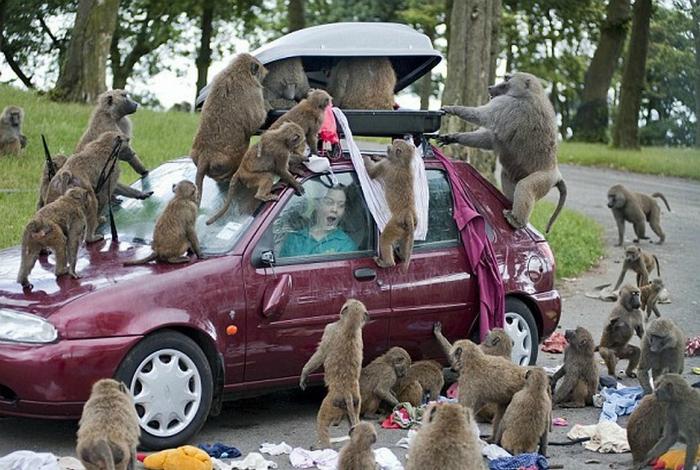 Навязчивые обезьяны.