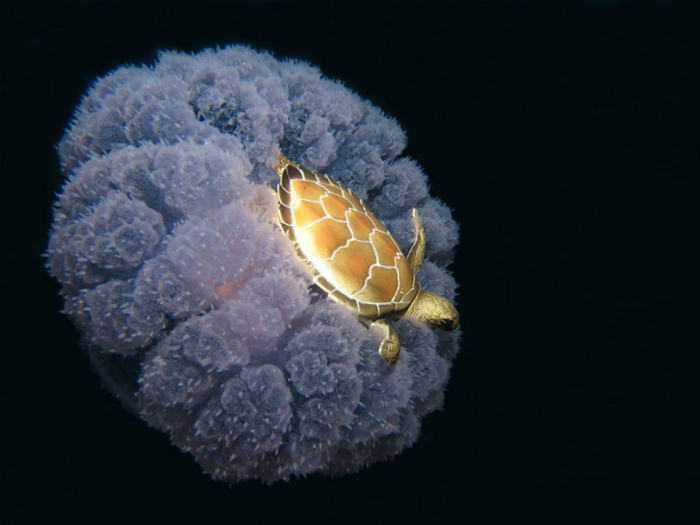 Черепаха, плывущая на спине у медузы.
