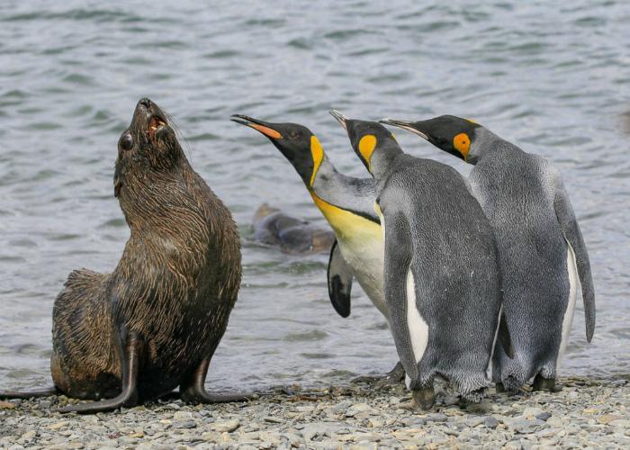 «Да я вам говорю, я свой, пингвин, как и вы!»