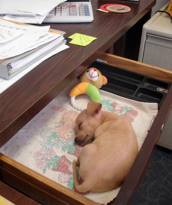 Самоотверженный песик, который спит на рабочем месте.