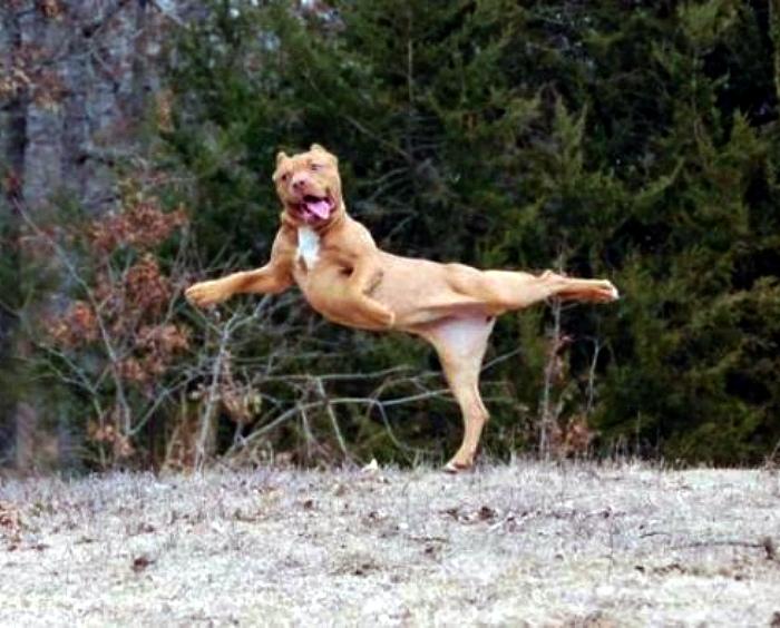 По мнению Novate.ru, эта самая грациозная собака! | Фото: Humor.fm.