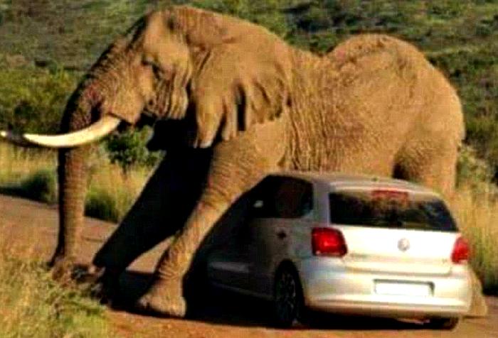 Слоник решил почесаться об машину.