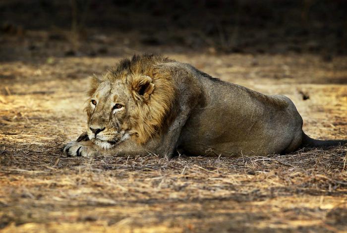 Среда обитания тигров и львов.