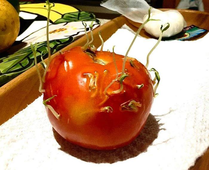 Помидор, с пробивающимися ростками. | Фото: Reddit.