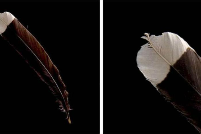 Цена: 8,000$. Единственное перо вымершей птицы было продано на аукционе в Новой Зеландии.