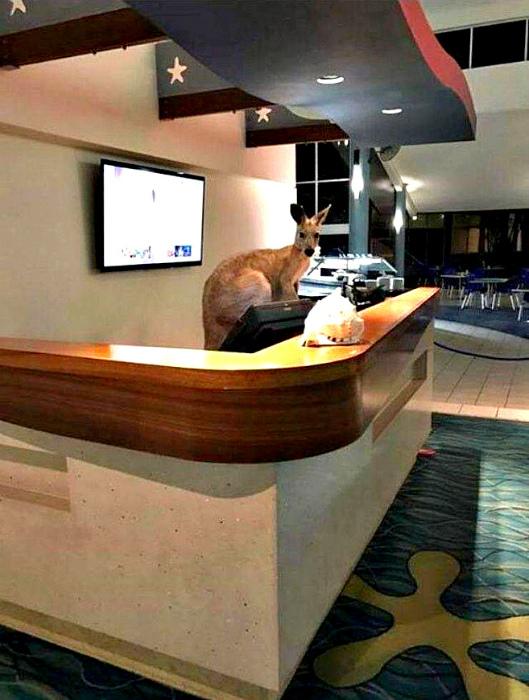 Докатились, даже у кенгуру есть работа, а у тебя нет! | Фото: veetbox.