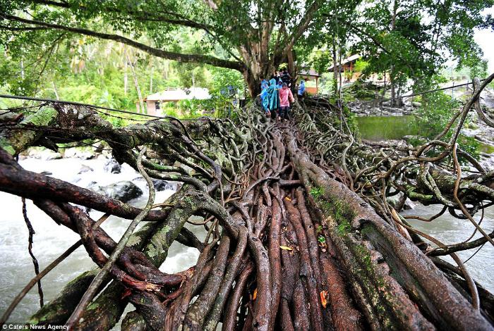 Мост Жембатан Акар в Индонезии, созданный из корней двух деревьев.