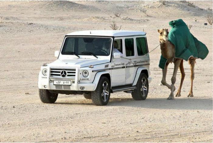 Выгул верблюда.