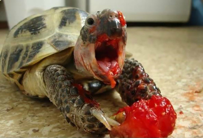 Кровожадная черепаха.