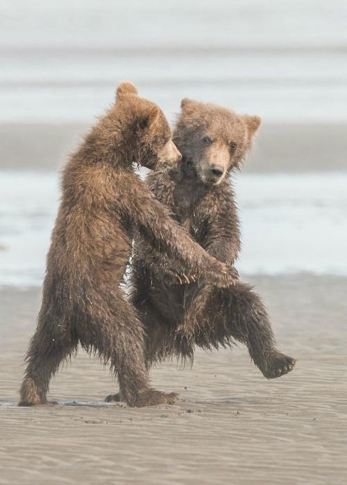 Медвежата пляшут.