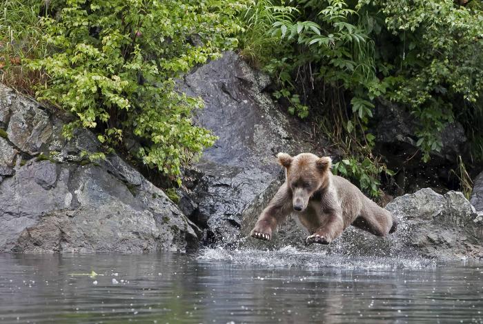 «Посторонись, мишка входит в воду!»