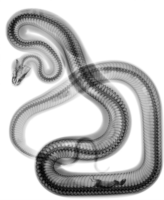 Рентгеновский снимок змеи.