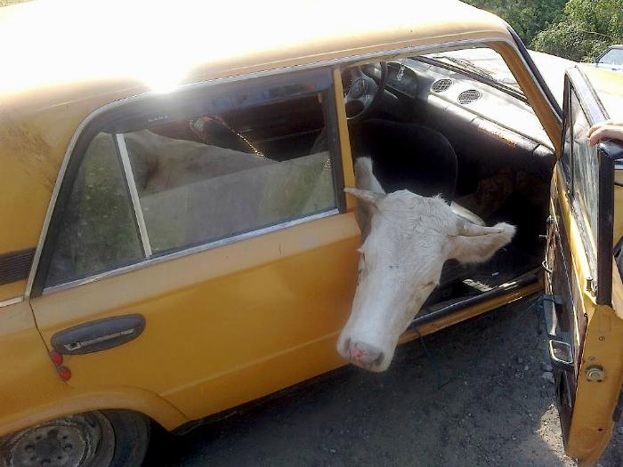 Корова в салоне.