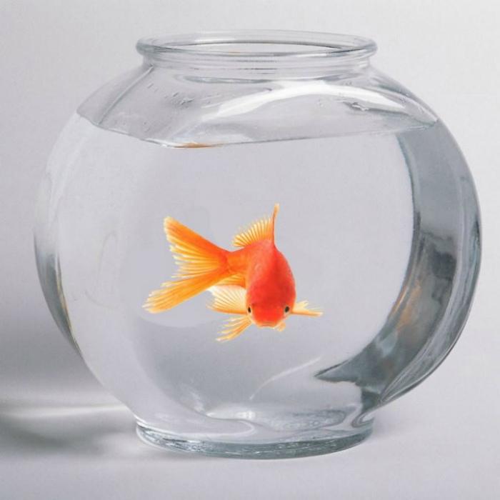 Нельзя держать в аквариуме золотых рыбок.