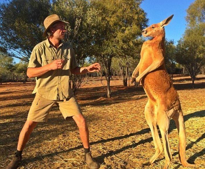 Соотношение кенгуру и людей на территории Австралии.