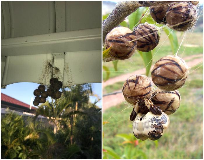 Яйца паука. | Фото: Reddit.