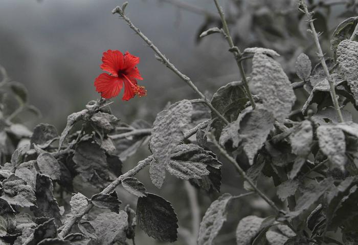Алый цветок гибискуса, который расцвел после извержения вулкана.