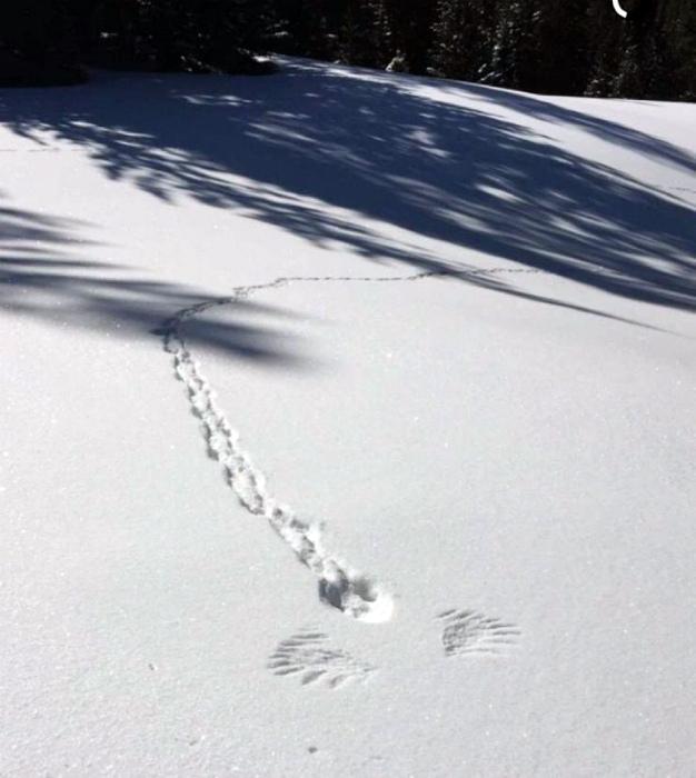 Пернатый снежный ангел. | Фото: Фишки.нет.