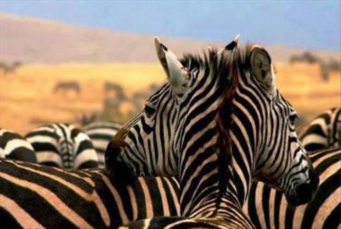 «Вот, что творится в природе? Еще утром у зебры была одна голова, а сейчас две!»