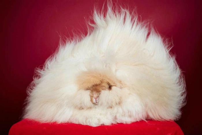 Ангорская крольчиха Франческа имеет самую длинную шерсть, длина которой составляет 36,5 см.