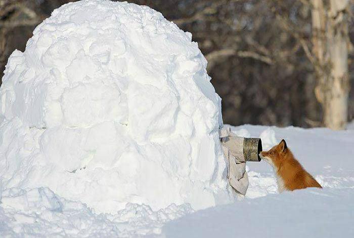 Фотограф провел целый день в сугробе, чтобы сфотографировать лисичку.