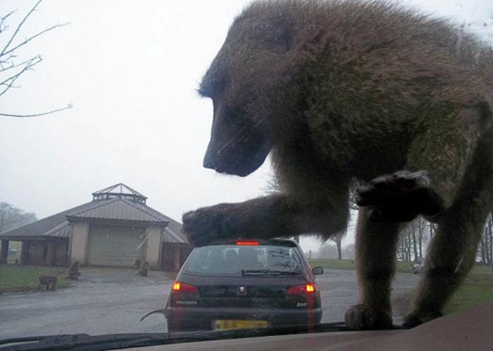 Novate.ru педупреждает, обезьяны - не самые приятные животные. | Фото: Watson.