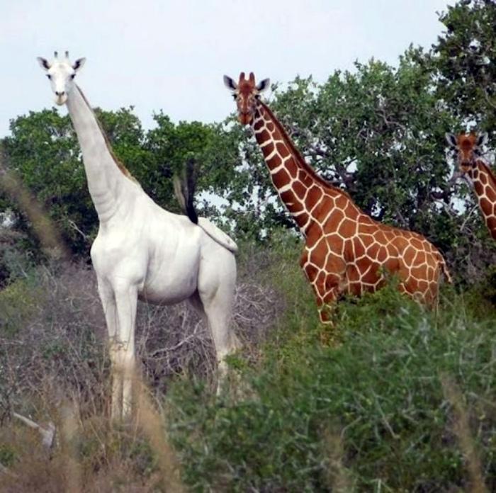 Жираф-альбинос из Кении. | Фото: Veetrina.