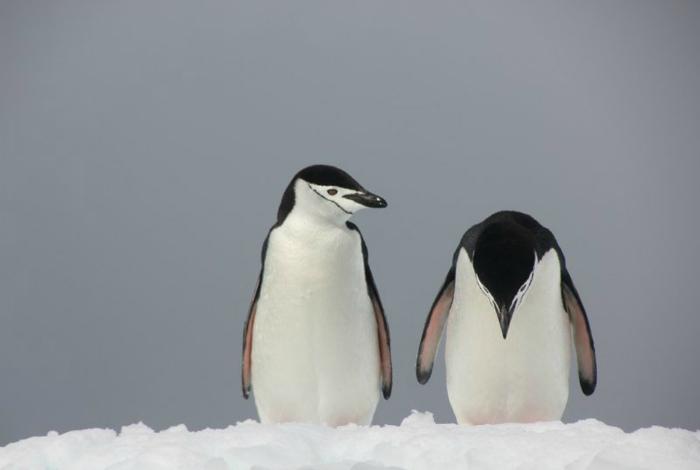 Поникший пингвин.