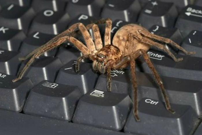 Тарантул на клавиатуре.