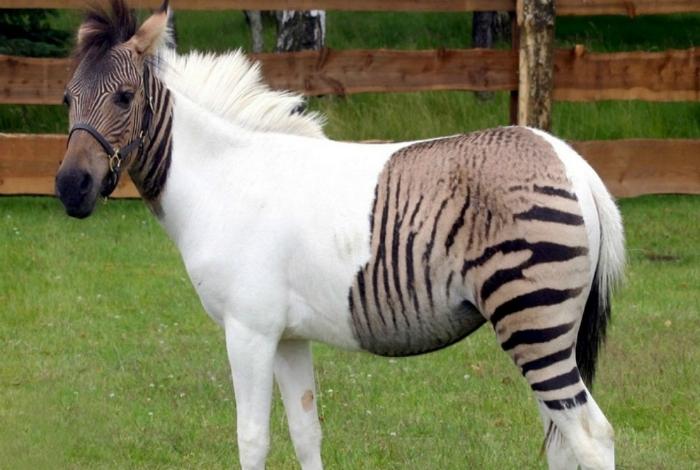 Зеброїда - помісь поні і зебри.