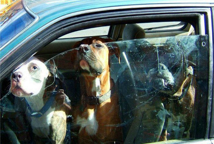 Три очаровательных бойцовских пса. | Фото: do-slez.com.
