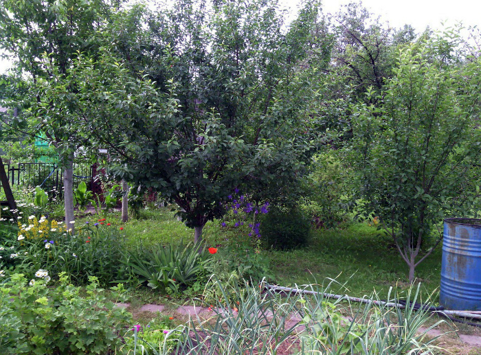 Не сажайте слишком «пышные» деревья. | Фото: Асиенда.ру.