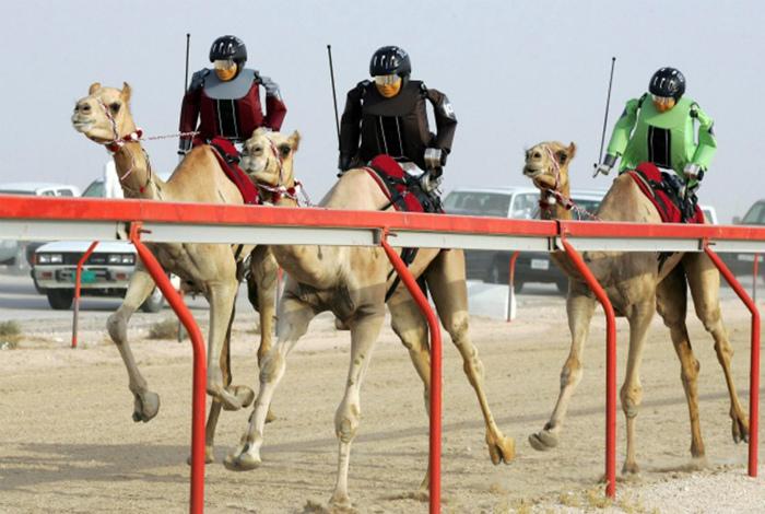 Скачки на верблюдах.