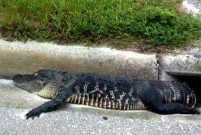 Симпатичный крокодильчик. | Фото: Телеграф.