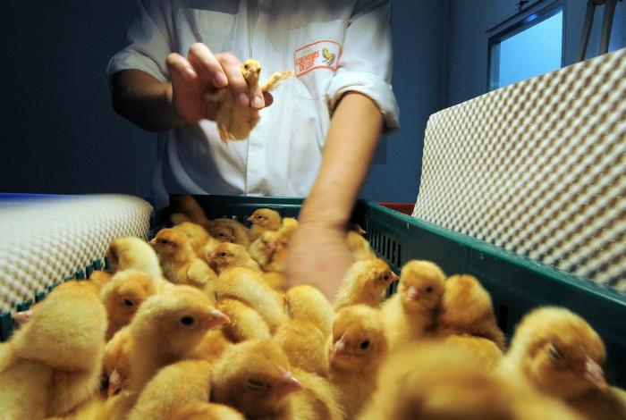 Определители пола цыплят.