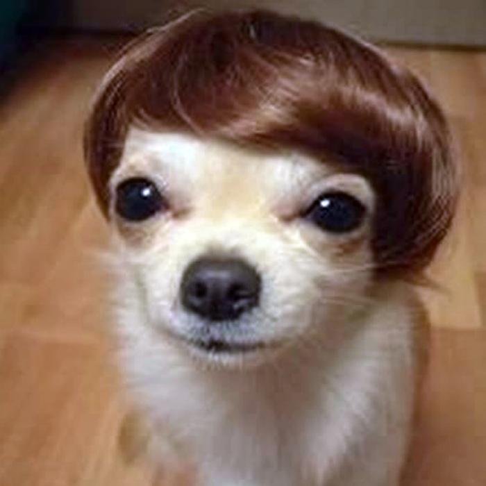 Чихуахуа в парике.
