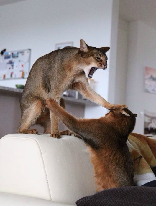 Коты скандалят.