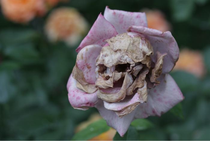 Череп в розе.