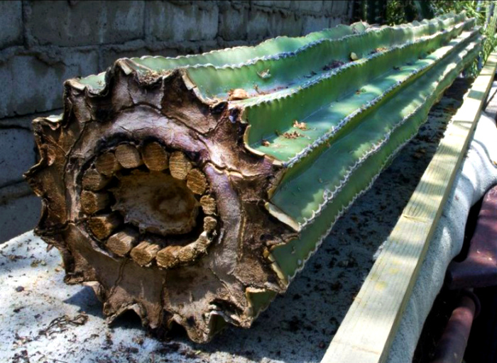 Срез кактуса - это нечто невероятное.