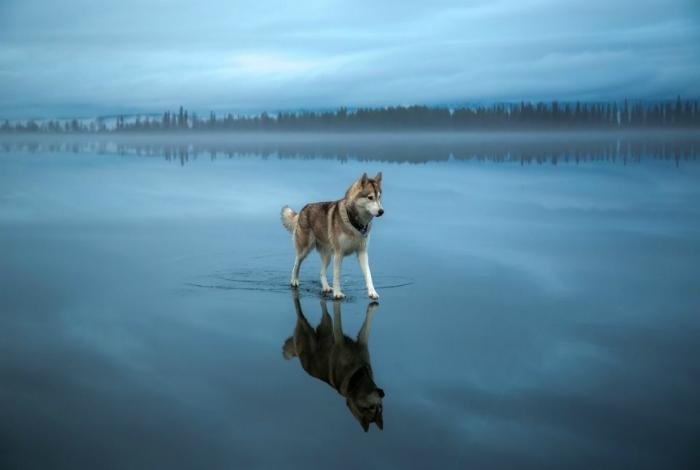 Сибирский хаски идет по замерзшей воде.