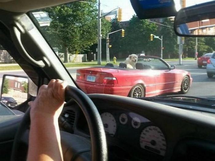 Собака в кабриолете.