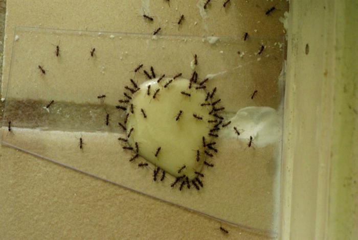 Борьба с муравьями дома.