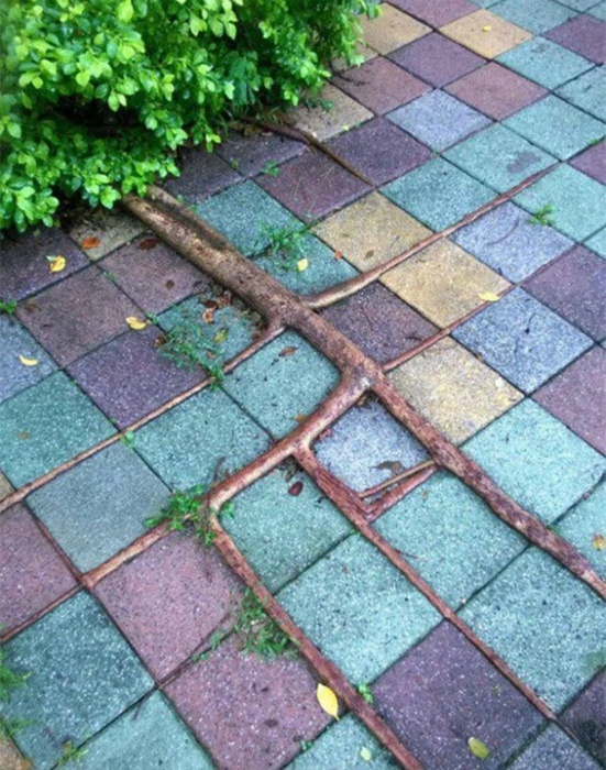 Корни растения между плиткой.