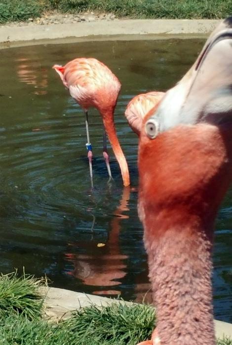 Забавная парочка фламинго.